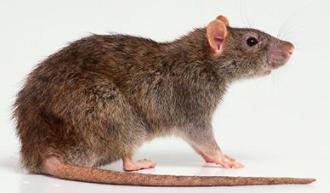 郑州灭鼠方法