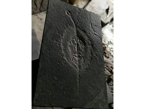 胡氏贵州龙化石