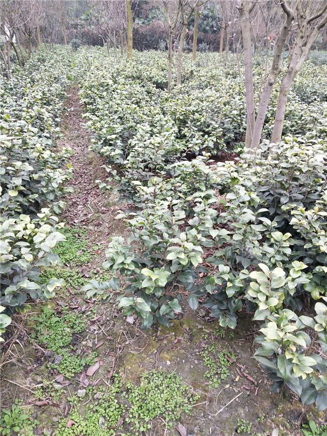绿化苗木供应