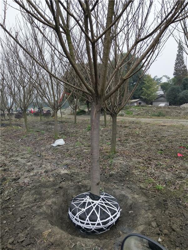 巴中成都绿化苗木供应