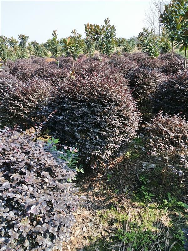 贵州温江苗木供应