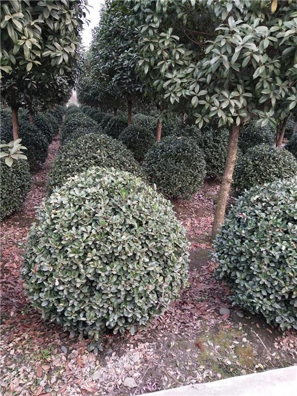 温江园林绿化苗木