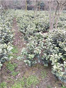 四川绿化苗木供应
