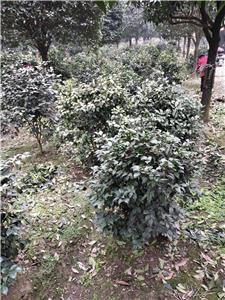 云南绿化苗木供应商