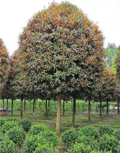 贵州高干桂花