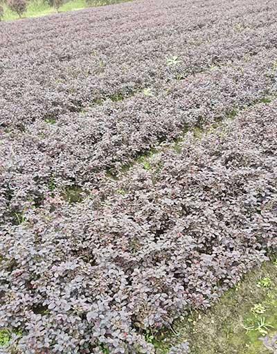 重庆红花继木苗价格