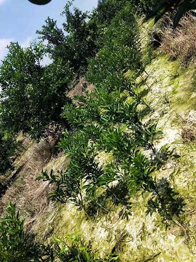 自贡丑柑苗