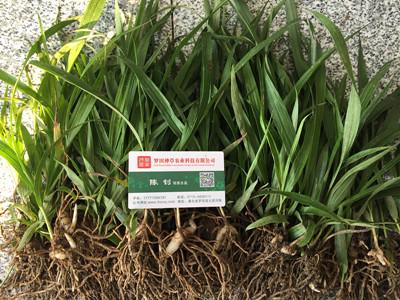 天门白芨种苗价格多少钱,罗田神草,白芨一亩需多少种苗