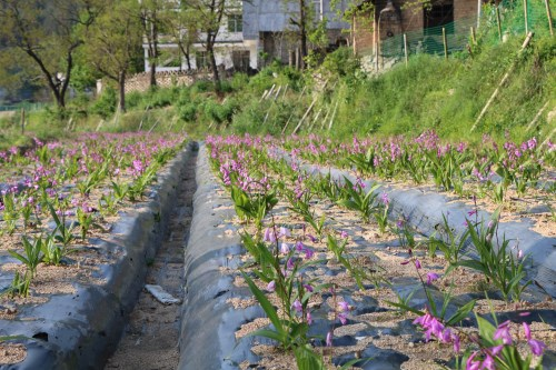 三叉白芨种苗