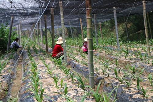 黄冈白芨种植基地