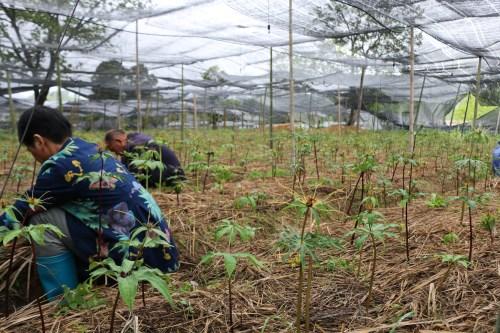 重楼种苗种植