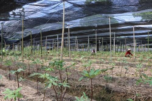 栽培白芨种苗基地