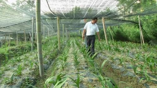 栽培白芨苗基地