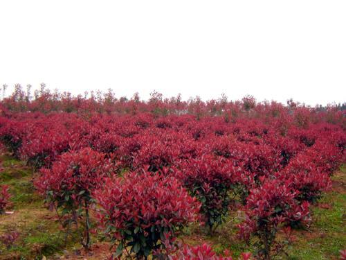 贵州红叶石楠