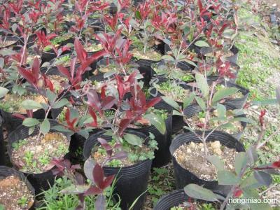 红叶石楠盆栽