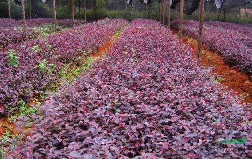 红花继木苗