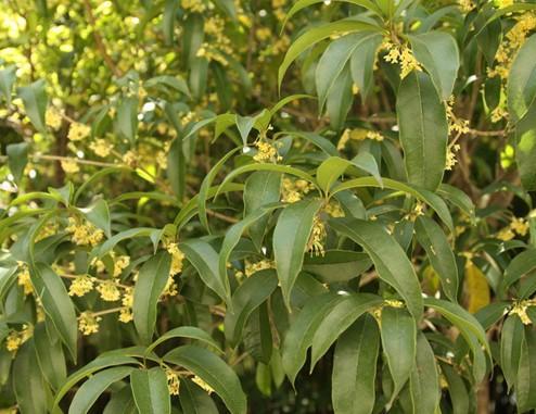 贵州桂花树