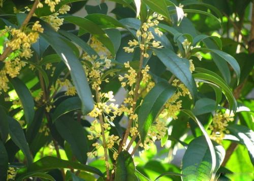 贵阳桂花树