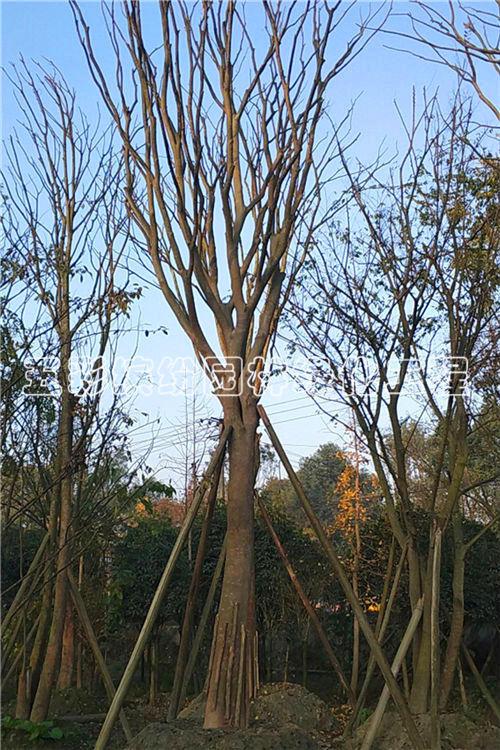 朴树价格哪家便宜