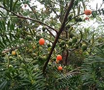 昆明红豆杉种苗基地