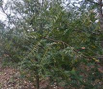石林红豆杉