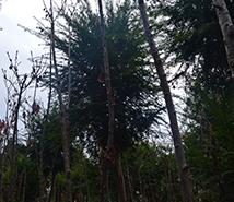昆明红豆杉种苗种植