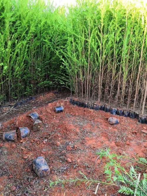 红豆杉袋苗
