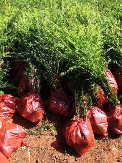 昆明红豆杉种苗