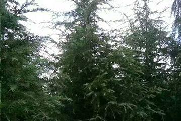绿化树袋苗