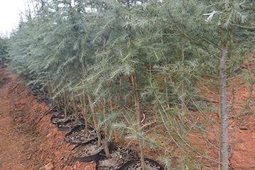 雪松袋苗种植