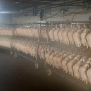 樱桃谷鸭胚生产厂家