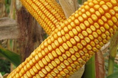玉米收购厂家