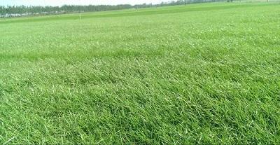綠化草坪基地