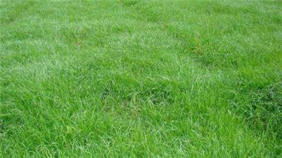 河南混播草坪種植基地