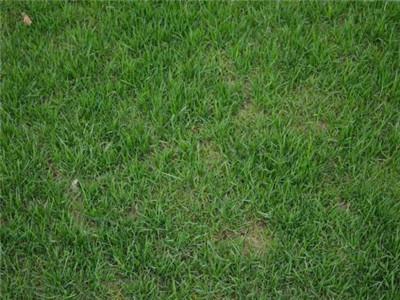 郑州专业草坪种植基地