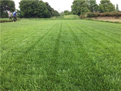 河南專業草坪種植基地