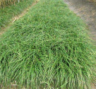 河南麦冬草坪基地