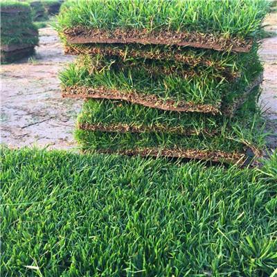河南各类草坪种植基地