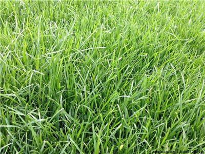 河南绿化草坪种植基地