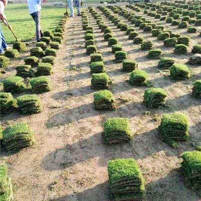 河南草坪基地種植