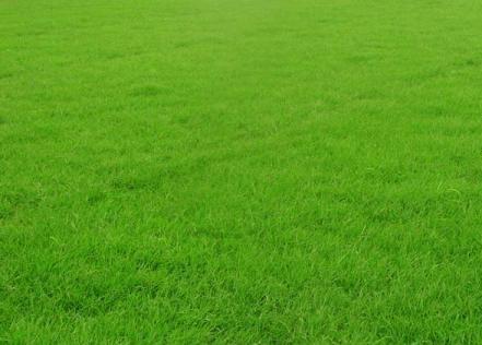 郑州草坪:早熟禾草坪