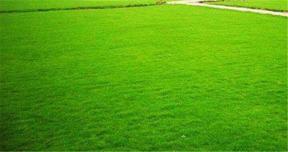 小区百慕大草坪