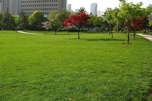 早熟禾草坪