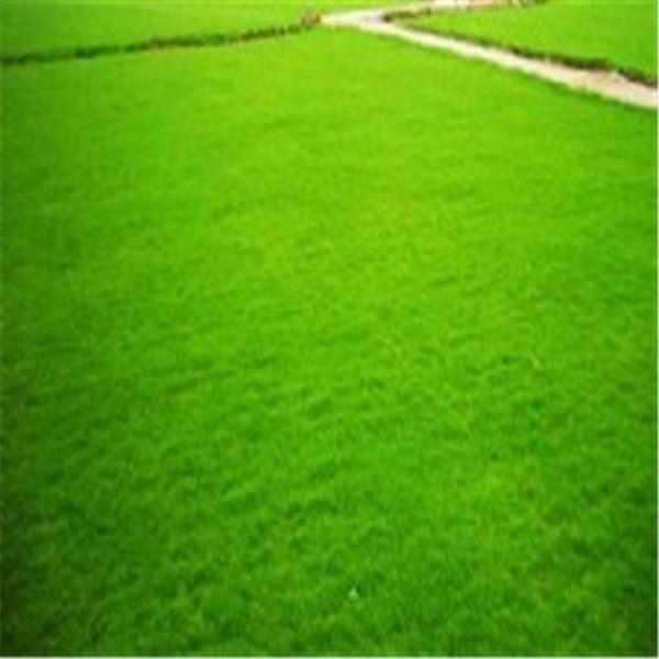 郑州百慕大草坪基地