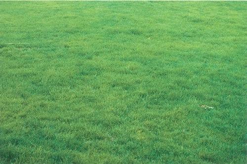 冷季型草坪草