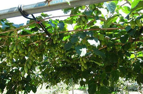 彩色软枣猕猴桃