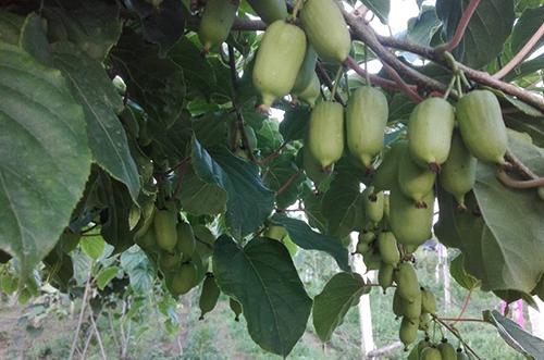 彩色软枣猕猴桃苗