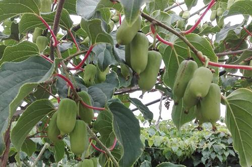 彩色软枣猕猴桃厂家