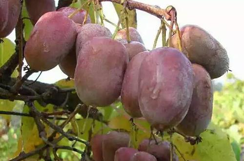 丹东彩色软枣猕猴桃