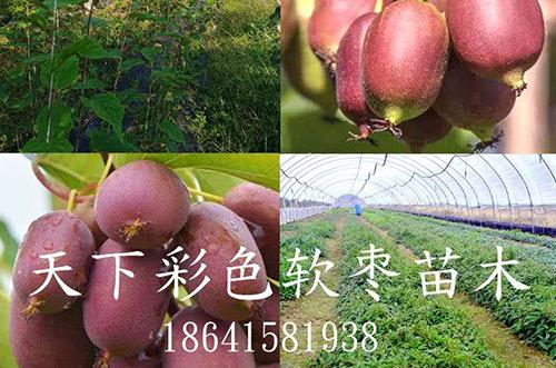 彩色软枣苗木